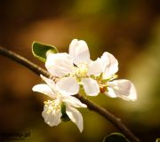 zakwitła czereśnia wiosna w sadzie