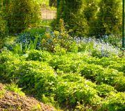 ogródek, grządki a w nich nasadzone truskawki