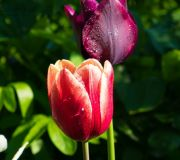 tulipan czerwono żółty