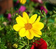 żonkil - kwiaty w ogrodzie