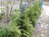 żywotnik sadzenie iglaki