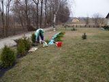 ogrodzenie z iglaków