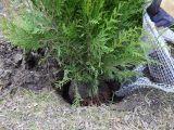 sadzenie tuji brabant