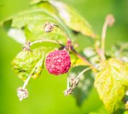 ostatnie z malin, jesień w ogrodzie