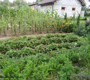 grządki w ogródku warzywnym