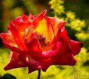 Rozkwitnięta róża