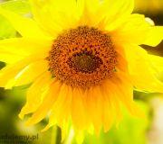 Słonecznik w ogródku
