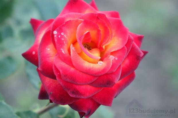przepis na piękne róże