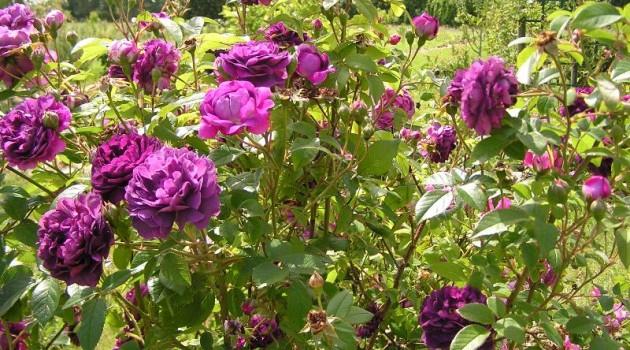 jak dbać o róże zimą