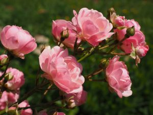 dlaczego róże nie kwitną
